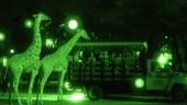 Night Safari at Disney's Animal KingdomLodge!